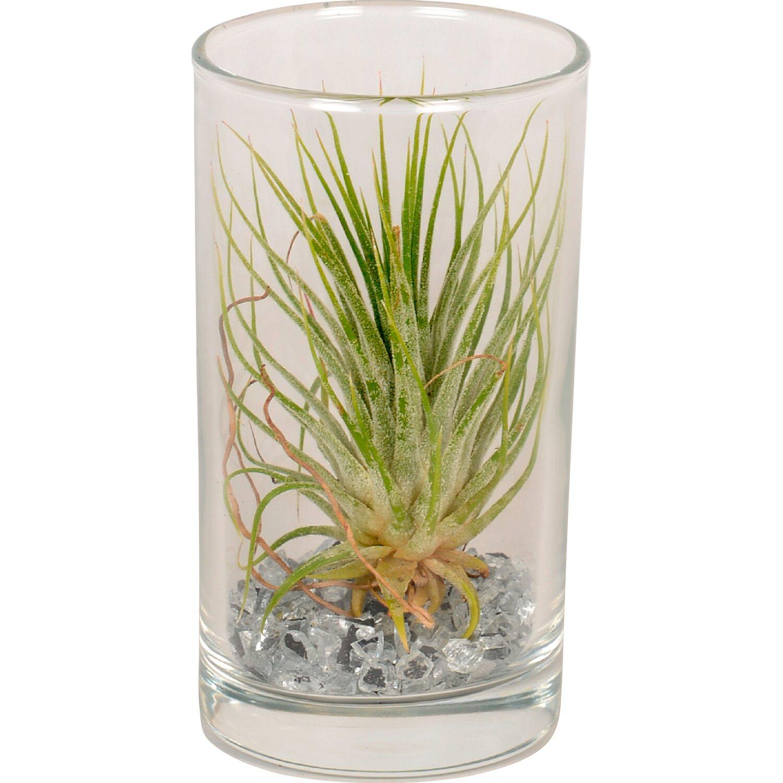Tillandsia in vaso di vetro alto 10 cm acquista da obi for Tillandsia prezzo