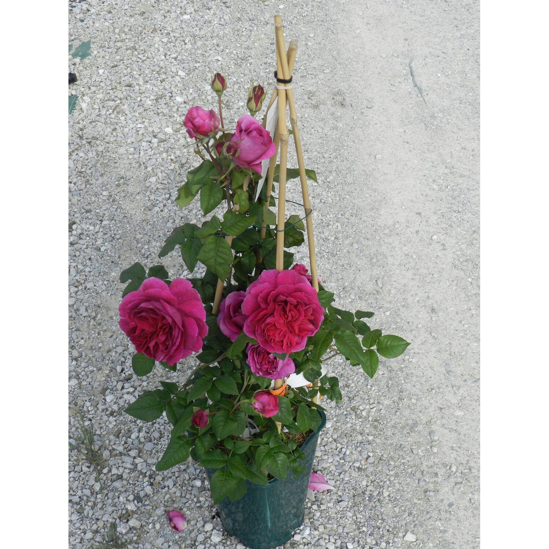 Rose Da Taglio Rifiorenti rosai inglesi forma a cono in varietà vaso 6 l