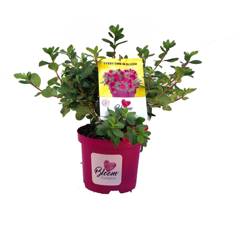 """Rose Da Taglio Rifiorenti azalea rifiorente """"bloom champion"""""""