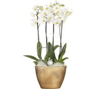 Composizione Phalaenopsis 4 rami vaso ceramica