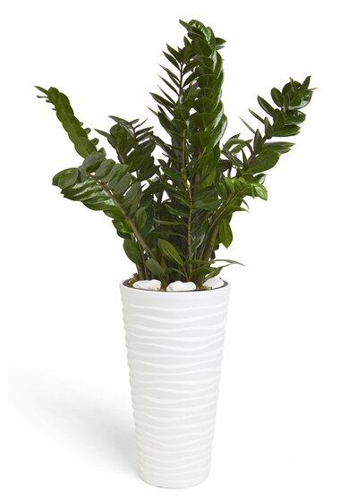 Composizione sanseveria trifasciata in vaso