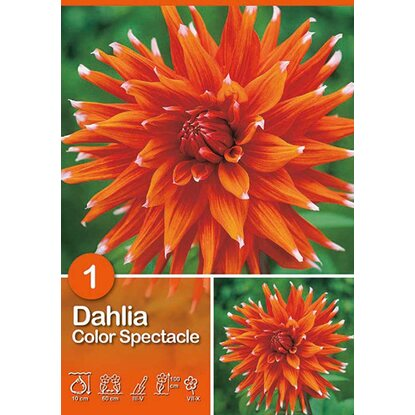 "Dalia ""Color Spectacle"""