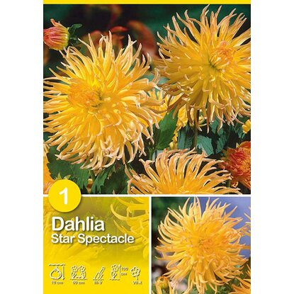"Dalia ""Star Spectacle"""
