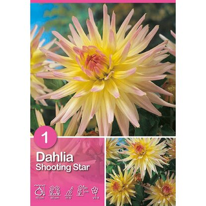 "Dalia ""Shooting Star"""