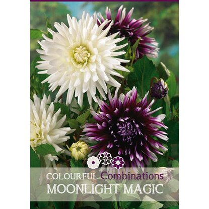 "Dalia ""Moonlight Magic"""