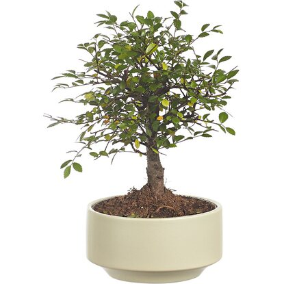 Bonsai assortiti in vaso rotondo in ceramica Ø 15 cm