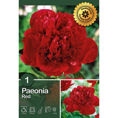 "Peonia ""Red"""