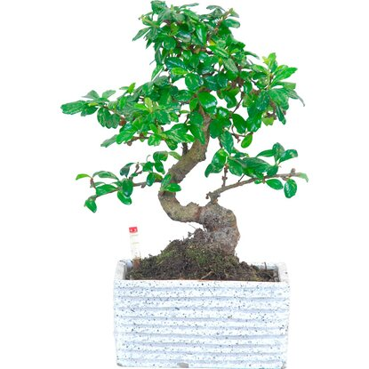 "Bonsai ""Easy care"" in vaso di ceramica Ø 17 cm"