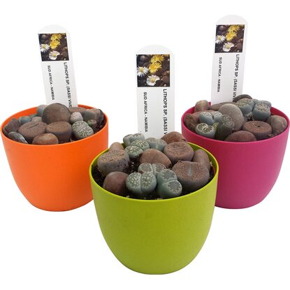 Composizione Lithops