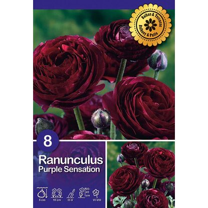"Ranuncolo ""Purple Sensation"""