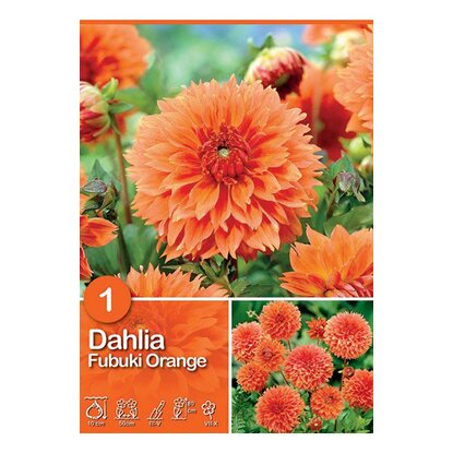 "Dalia ""Fubuki Orange"""